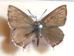 Image of <i>Crudaria leroma</i> (Wallengren 1857)