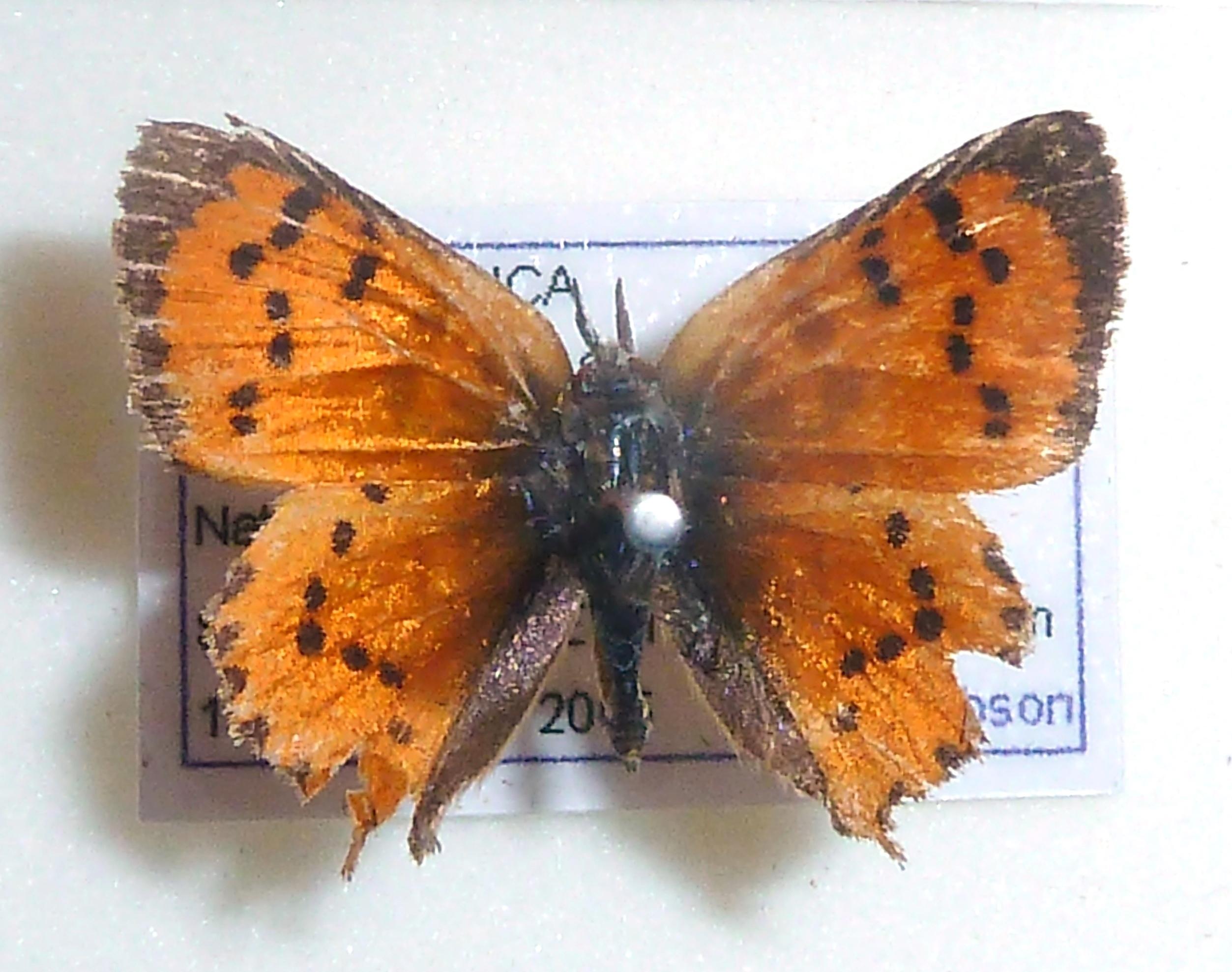 Image of <i>Zeritis chrysaor</i>