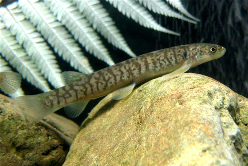 Image of Broad-finned galaxias