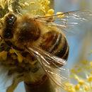 Image of Carniolan honey bee