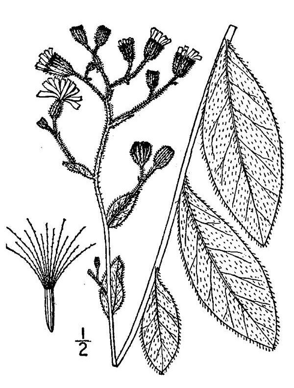 Image of rough hawkweed