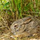 Image of Burmese Hare