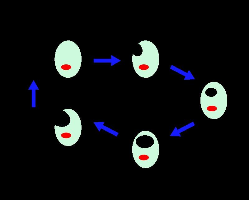 Image of <i>Chlamydophila psittaci</i> (Lillie 1930) Everett et al. 1999