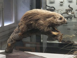 Image of Paraguaian Hairy Dwarf Porcupine