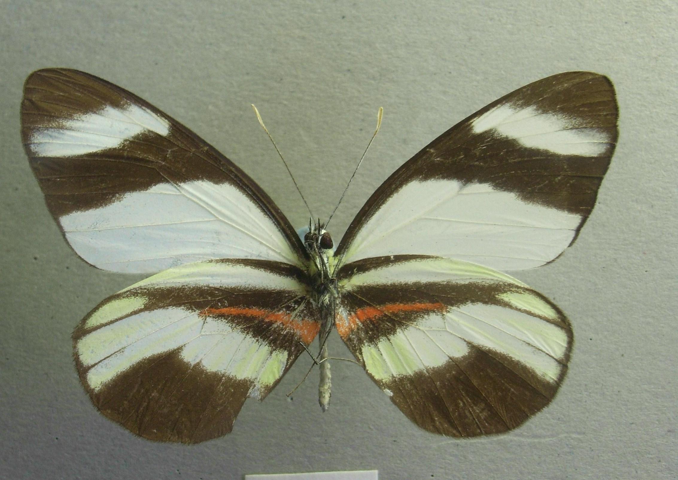 Image of <i>Perrhybris pamela</i> (Stoll 1780)