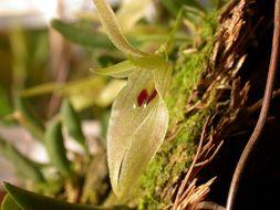 Image of <i>Barbosella australis</i> (Cogn.) Schltr.