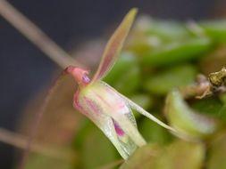 Image of <i>Barbosella crassifolia</i> (Edwall) Schltr.