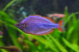Image of Dwarf Rainbowfish