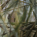 Image of Marsh Babbler