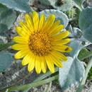 Image of Sand daisy