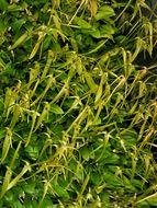 Image of <i>Barbosella cogniauxiana</i> (Speg. & Kraenzl.) Schltr.