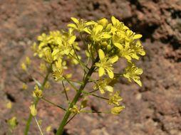 Image of <i>Descurainia bourgaeana</i> (E. Fourn.) Webb