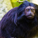 Image of golden-rumped lion tamarin