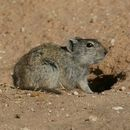 Image of Woosnam's Broad-headed Mouse