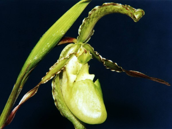 Image of Boissier's Phragmipedium