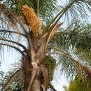 Image of queen palm