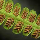 Image of false spleenwort