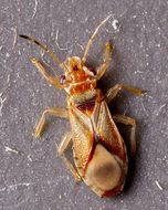 Image of Bronze bug