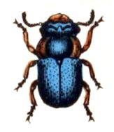 Image of <i>Cheilotoma musciformis</i>