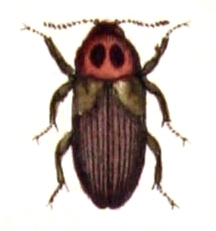 Image of <i>Hallomenus axillaris</i> (Illiger 1807) Illiger 1807