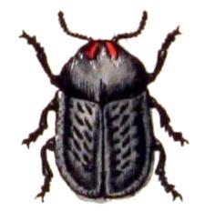 Image of <i><i>Cassida</i></i> (Cassida) <i>atrata</i> Fabricius 1787
