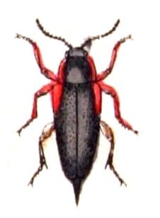 Image of <i>Mordellistena humeralis</i> (Linnaeus 1758) Linnaeus 1758