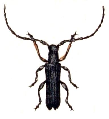 Image of Umbellifer Longhorn