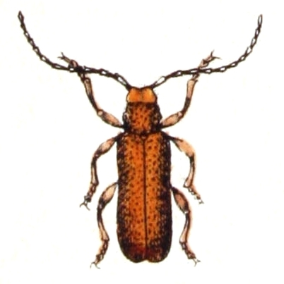 Image of <i>Anaesthetis testacea</i> (Fabricius 1781)
