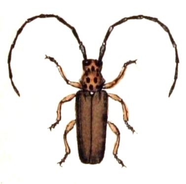 Image of <i>Phytoecia</i> (<i>Musaria</i>) <i>argus</i> (Frölich 1793)