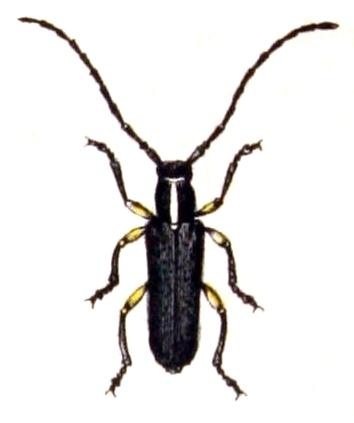 Image of <i>Phytoecia icterica</i> (Schaller 1783)