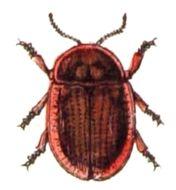 Image of <i>Cassida</i> (<i>Lordiconia</i>) <i>canaliculata</i> Laicharting 1781