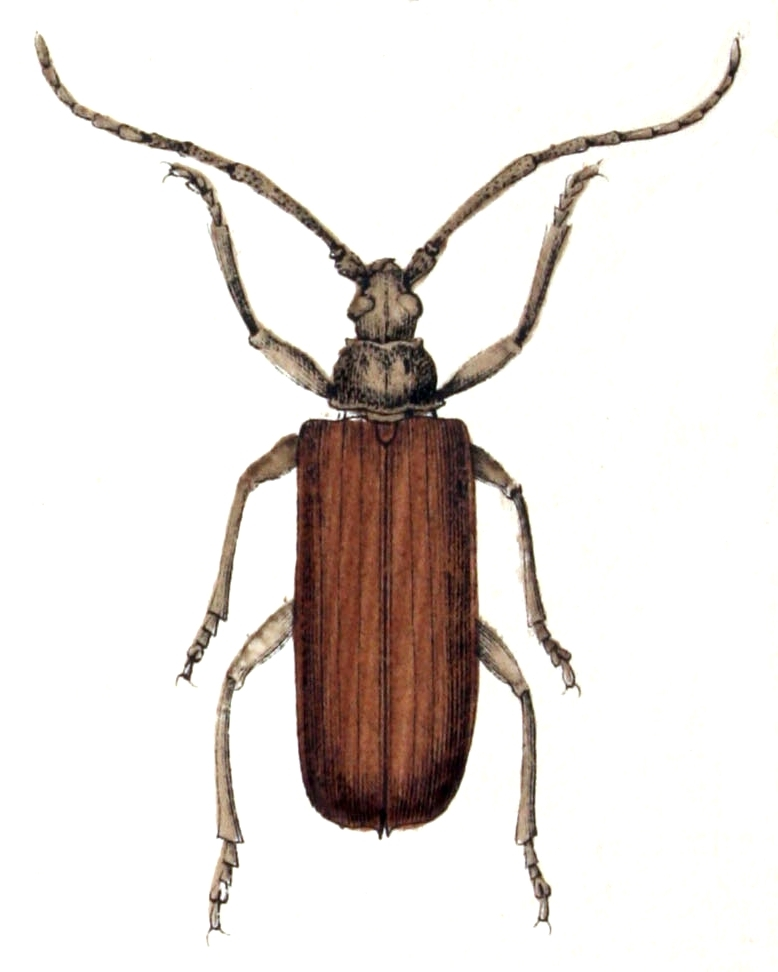 Image of Diófacincér
