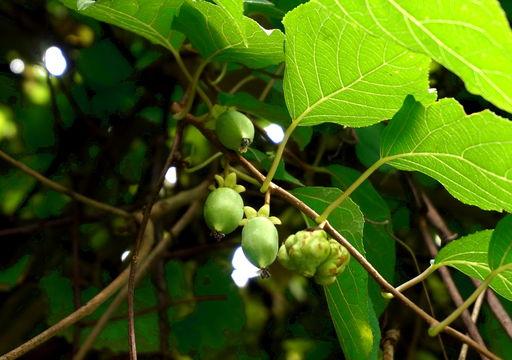Image of silver vine