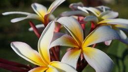 Image of Jasmineae