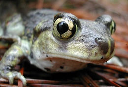 Image of Eastern Spadefoot