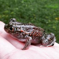 Image of Plains Spadefoot