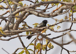Image of Mongongo Tree