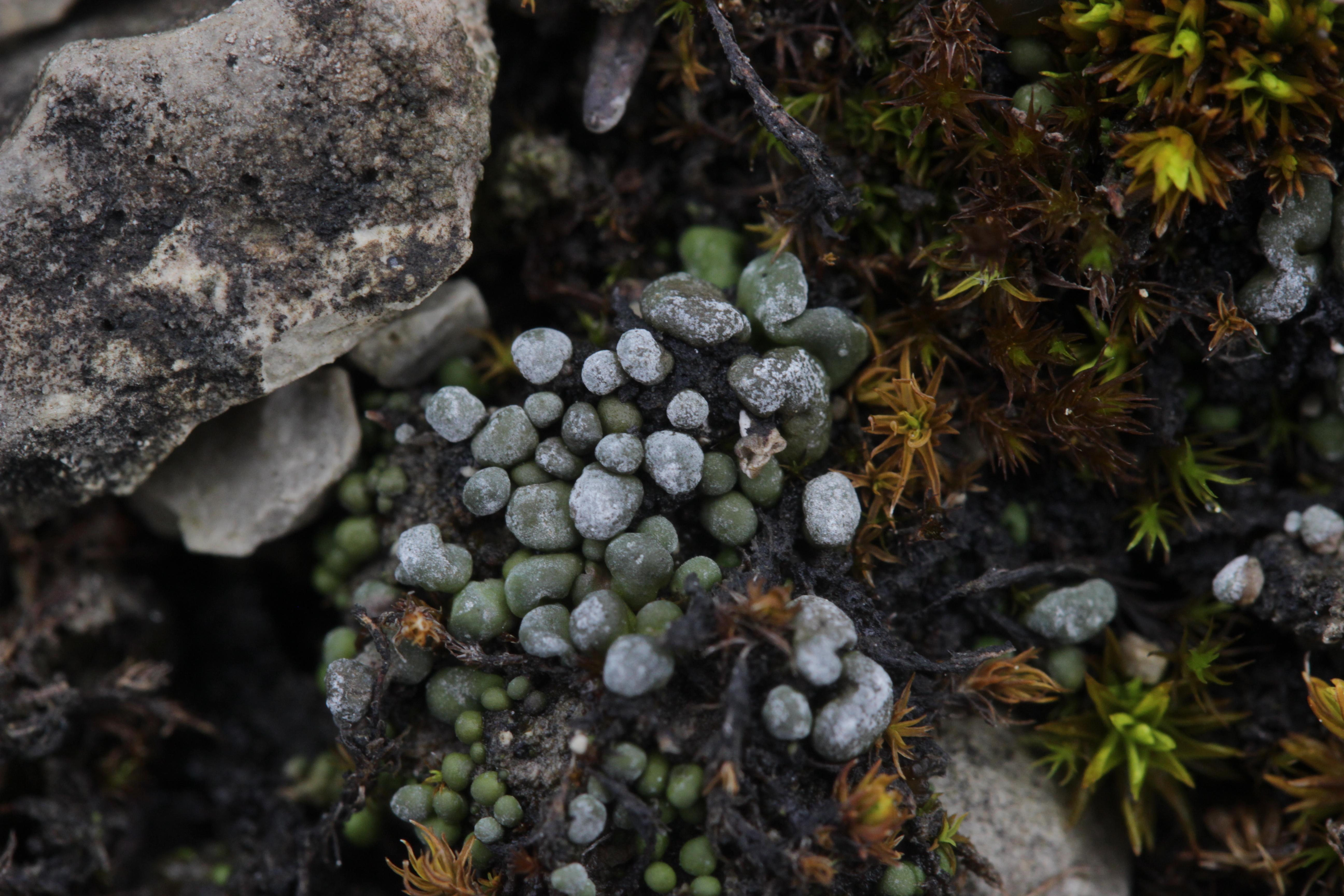 Image of bruised lichen
