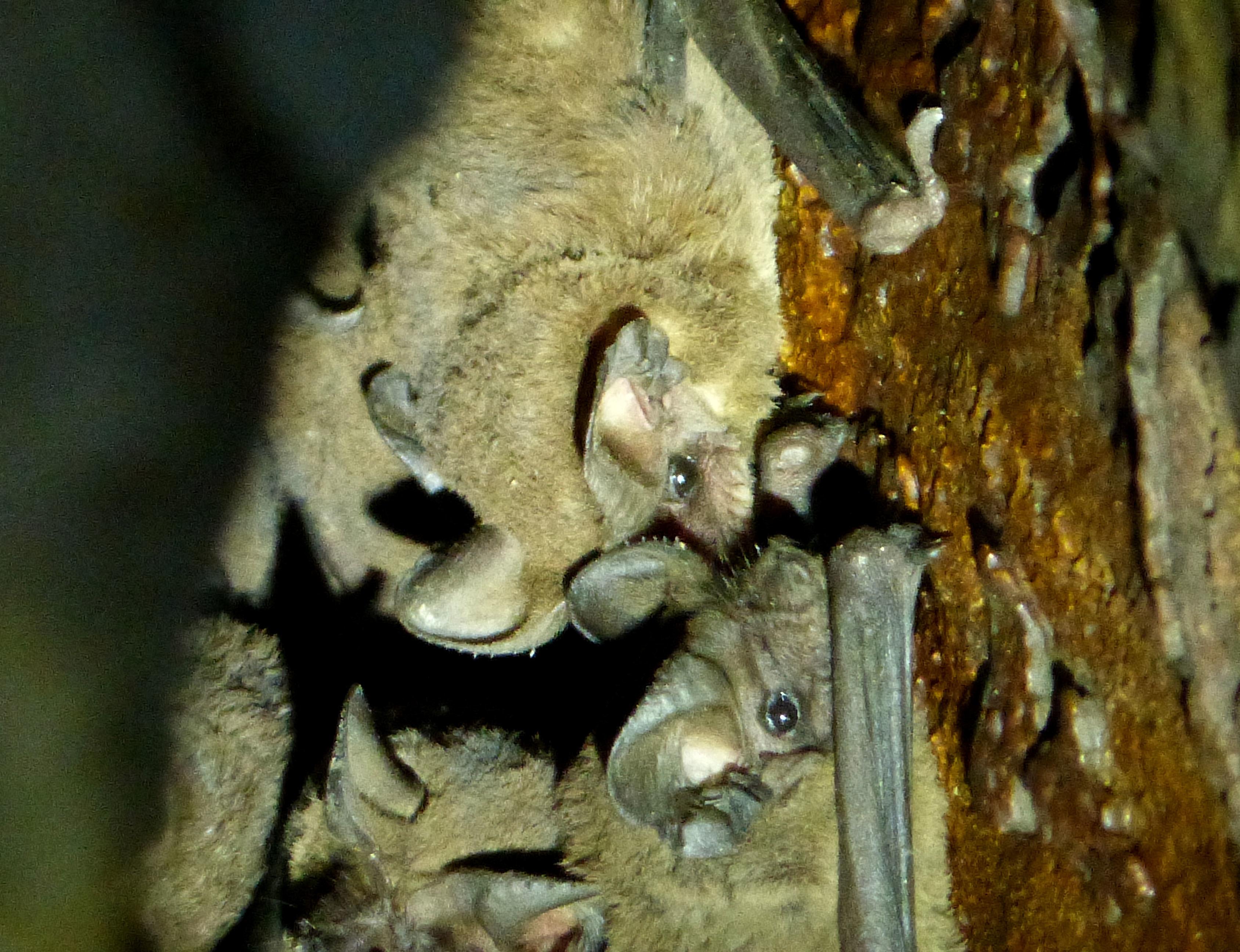 Image of Cuban Funnel-eared Bat