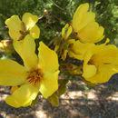 Image of <i>Cochlospermum fraseri</i> Planch.