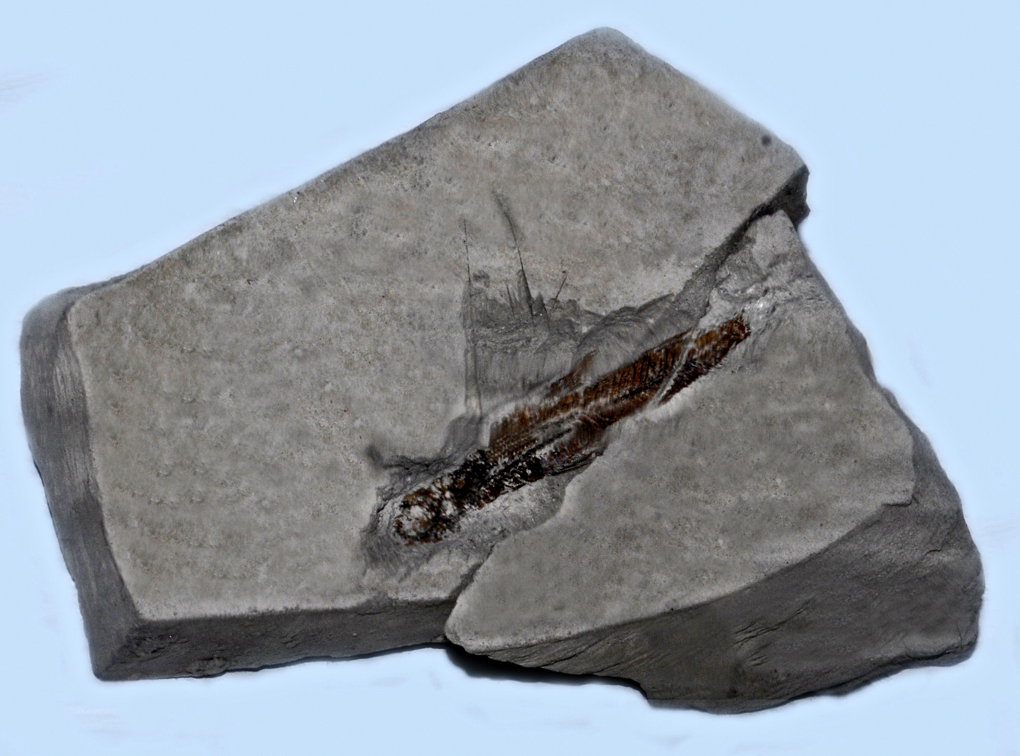Image of codlet