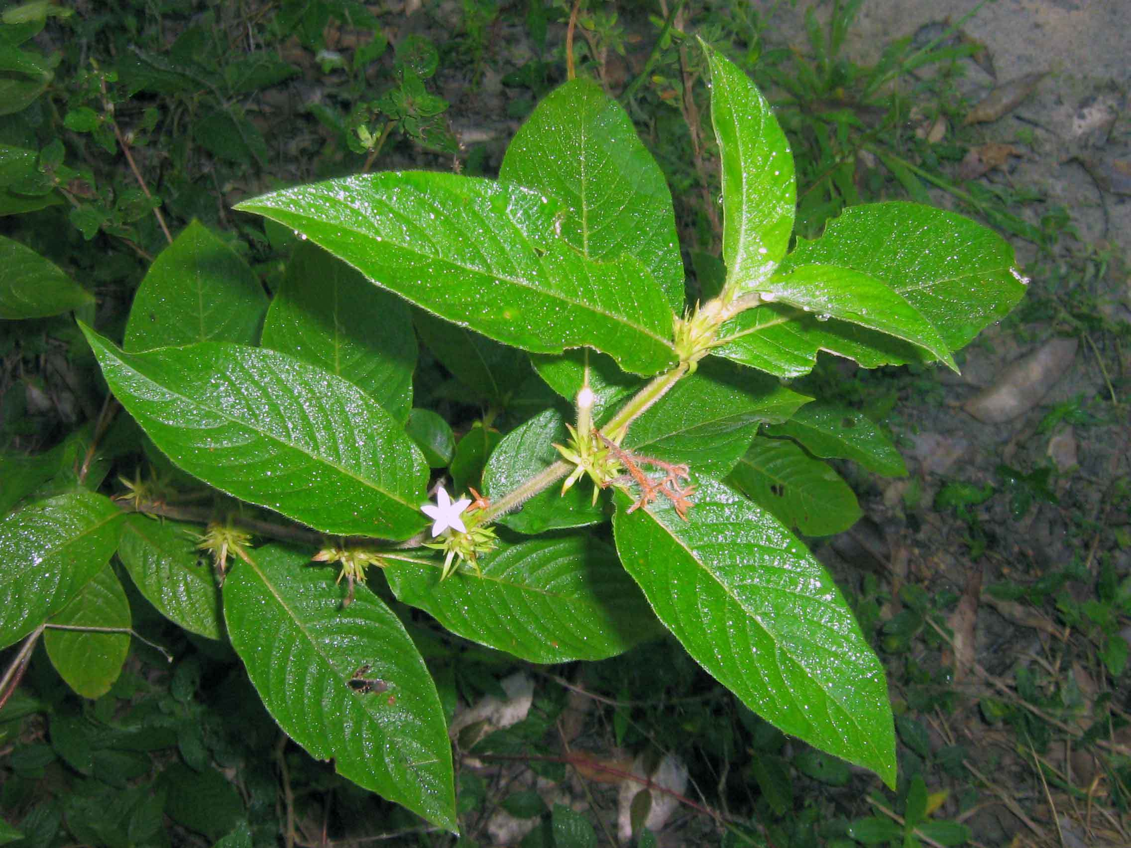Image of largeflower woodvine