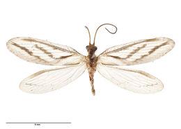 Image of Micromus