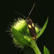 Image of <i>Scythris sinensis</i> Felder
