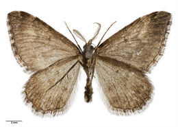 Image of Asaphodes