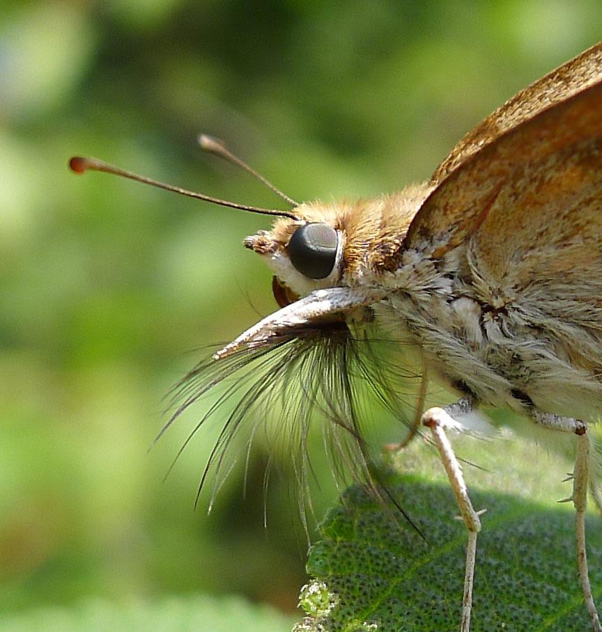 Image of Odontoptilum