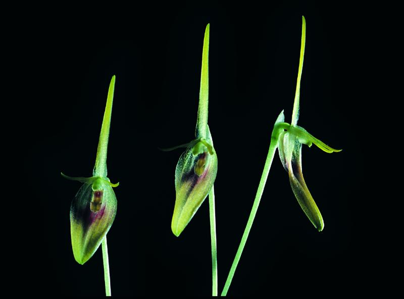 Image of <i>Barbosella dolichorhiza</i> Schltr.