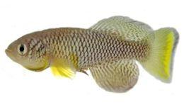 Image of Nothobranchius furzeri
