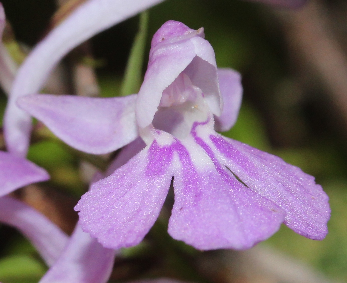 Image of Ponerorchis