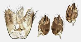 Image of <i>Cordyla flaviceps</i> (Staeger 1840)